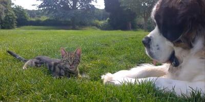 St. Bernard Meets a Kitten, AdorablenessEnsues