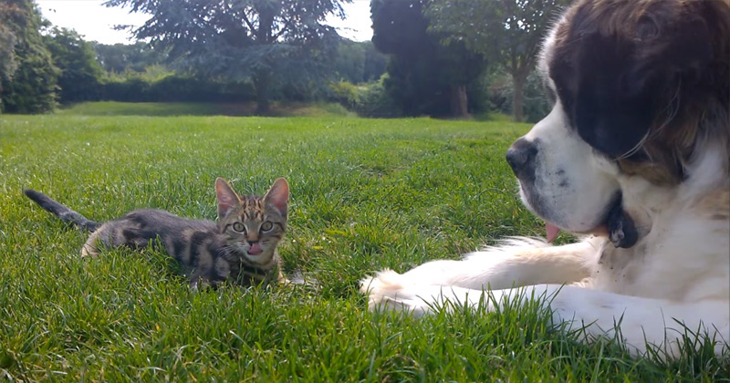 st-bernard-meets-a-kitten-video