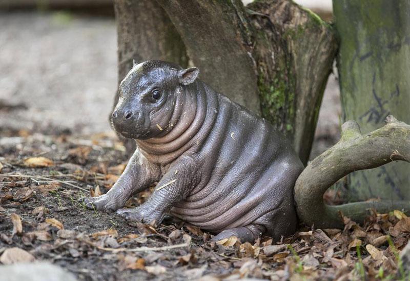 baby dwarf hippo olivia parken zoo sweden