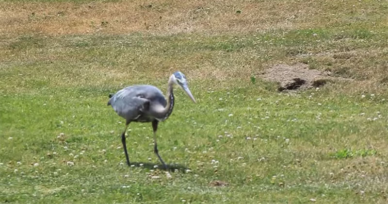 Blue Heron Eats Gopher to Soothing Commentary
