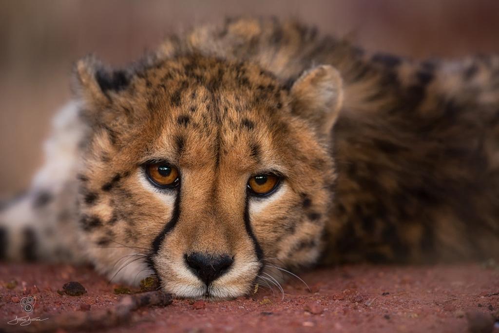 cheetah by andrei duman