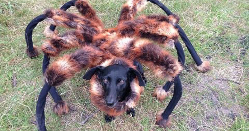 dog wears spider costume at night scares the crap out of
