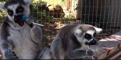 Lemurs Loving Lollipops