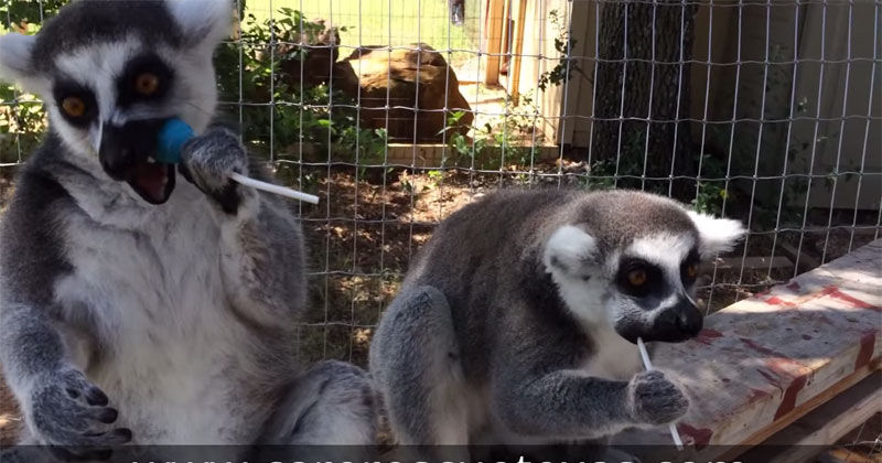 Lemurs Loving Lollipops