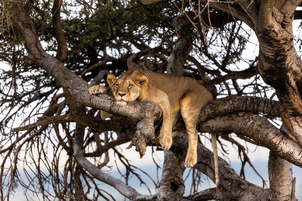 Lion by andrei duman