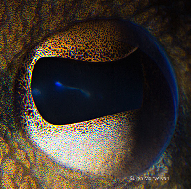 macro close-up photos of animal eyes by suren manvelyan (10)