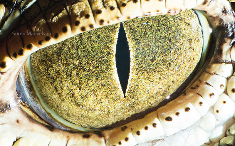 macro close-up photos of animal eyes by suren manvelyan (11)