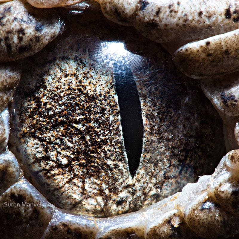 macro close-up photos of animal eyes by suren manvelyan (12)