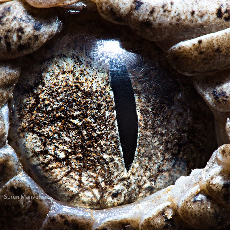 macro close-up photos of animal eyes by suren manvelyan (12)