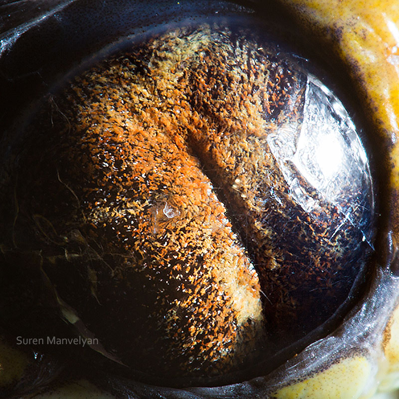 macro close-up photos of animal eyes by suren manvelyan (13)