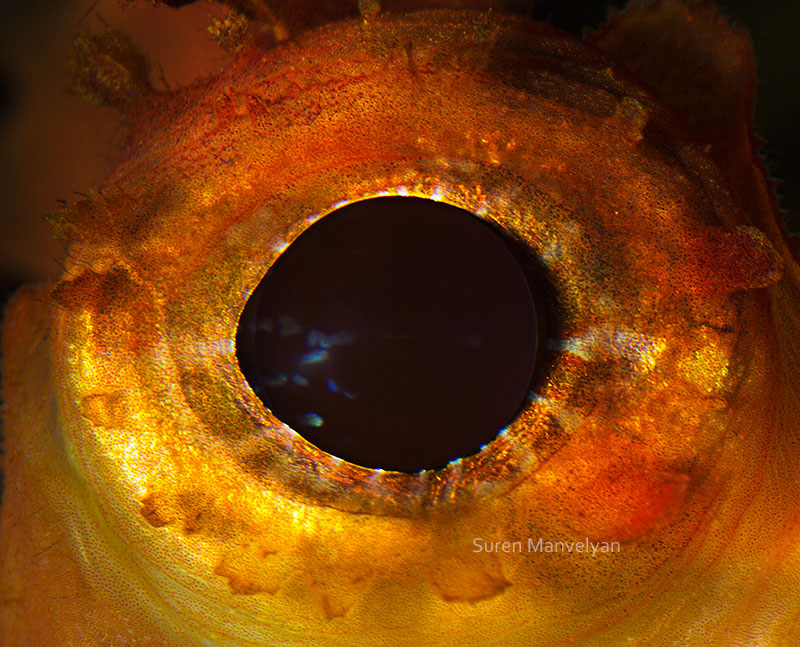 macro close-up photos of animal eyes by suren manvelyan (4)