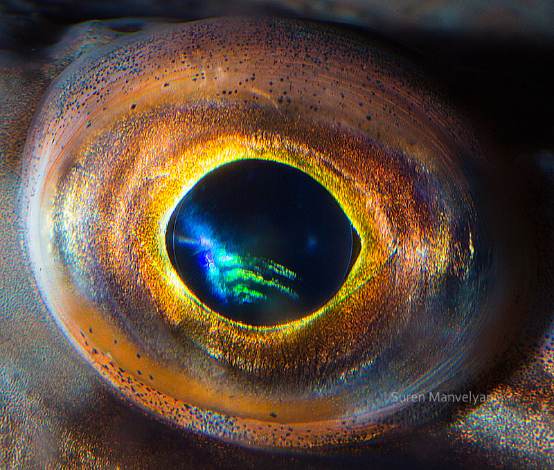 macro close-up photos of animal eyes by suren manvelyan (6)