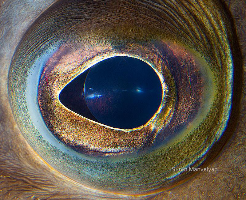 macro close-up photos of animal eyes by suren manvelyan (8 ...Close Up Of An Animal Eye