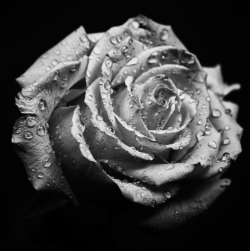 Picture of the Day: Macro Rose
