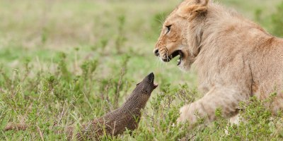 Bold Mongoose Fends Off FourLions