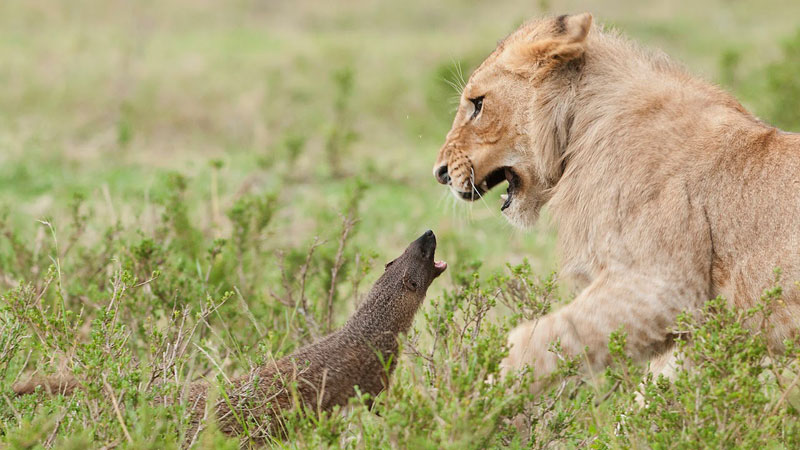 Bold Mongoose Fends Off Four Lions