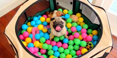 Pug's First Ball Pit Experience
