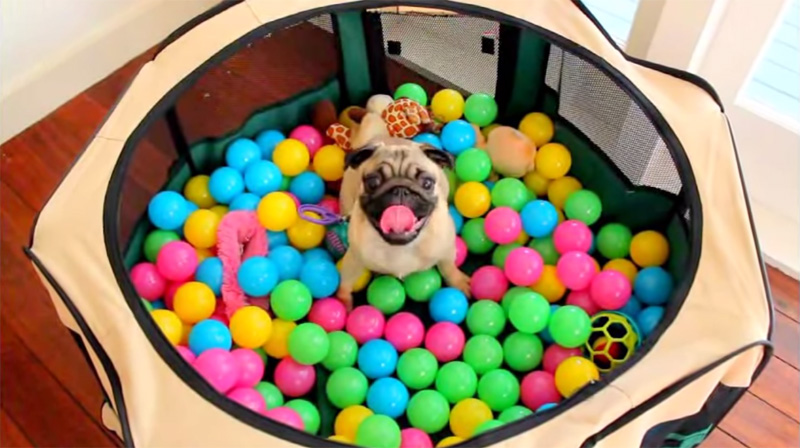 pug-first-time-in-ball-pit