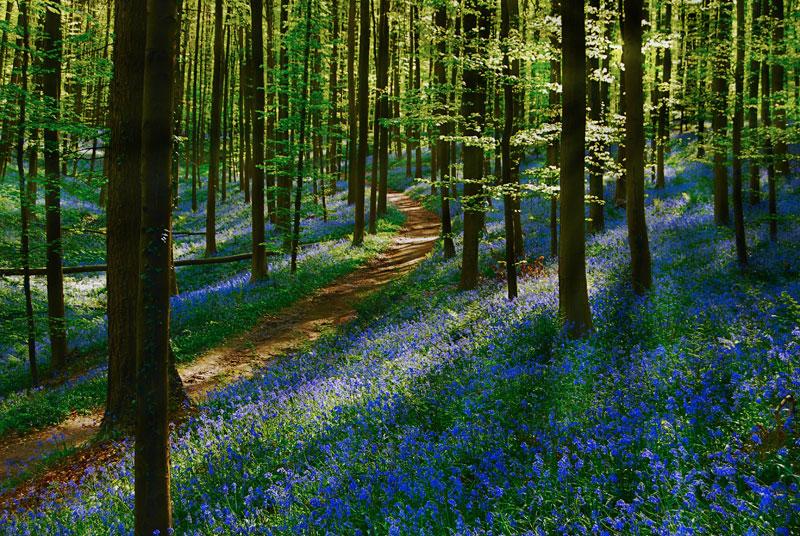 Denkverbot - Page 41 Visit-bluebells-of-hallerbos-forest-belgium-2
