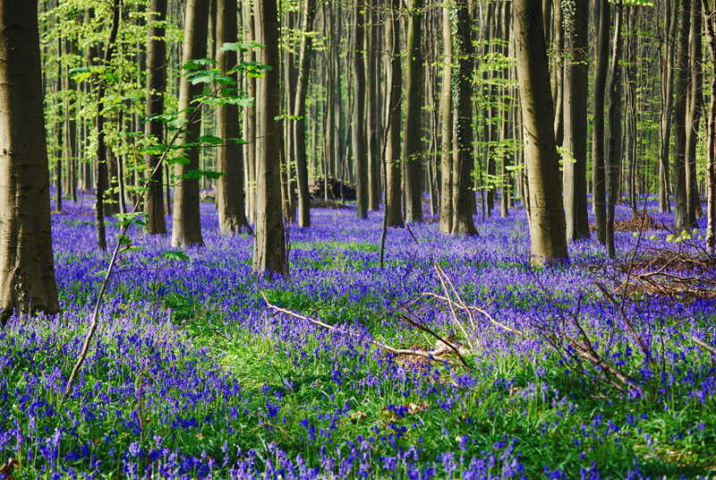 the bluebells of hallerbos  belgium  u00abtwistedsifter