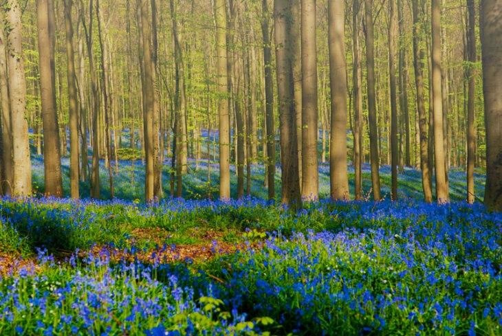 bluebells of hallerbos forest belgium
