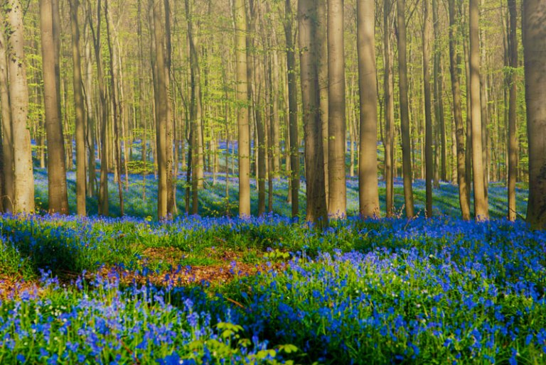 bluebells of hallerbos forest belgium