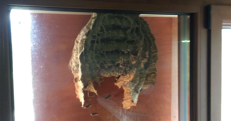 wasps-build-nest-on-window-video