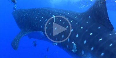 Whale Shark Comes Out ofNowhere