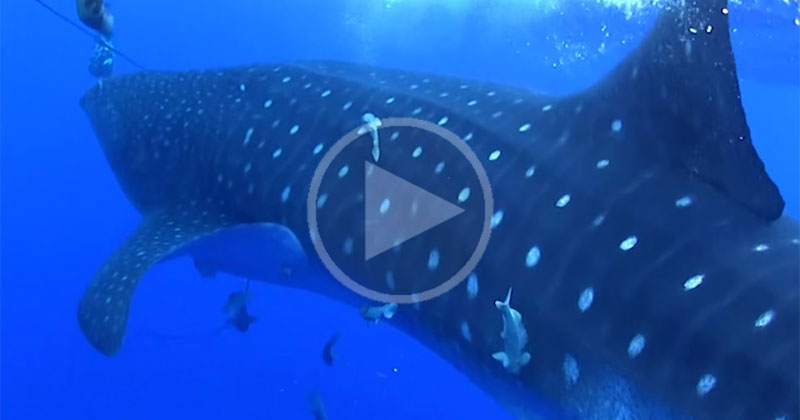whale-shark-appears-out-of-nowhere
