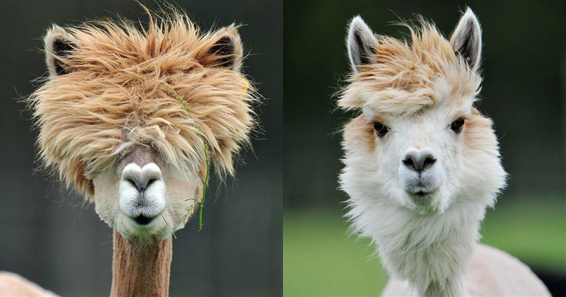 alpacas with the best hair ever This Canadian Hot Spring has a Hair Freezing Contest Every Winter