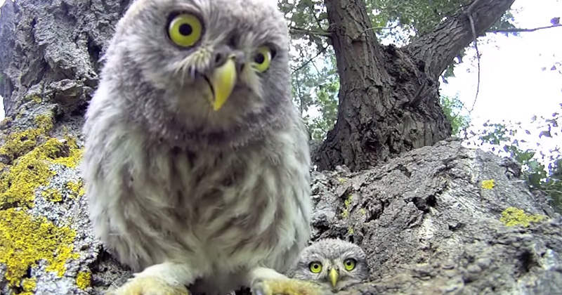 Baby Owls Find Camera Near Their Nest and Try to Eat It