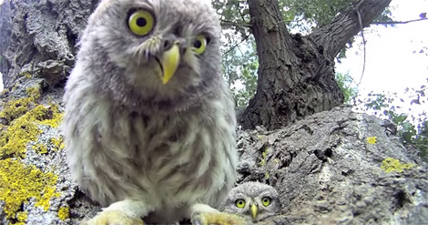 baby-owls-gopro-camera