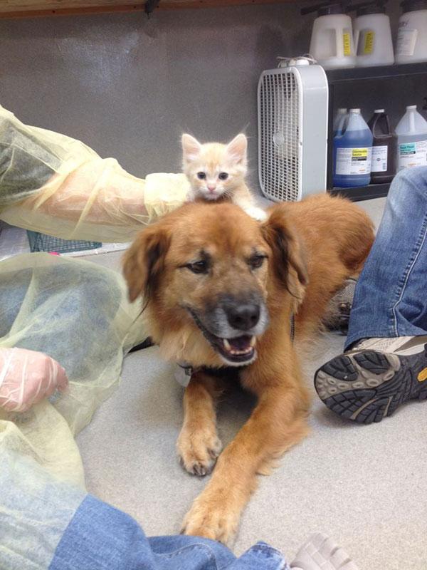 boots the kitten nanny arizona humane society (1)