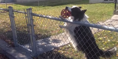 Clever Dog Lures Unsuspecting Pedestrians Into Endless Game ofFetch