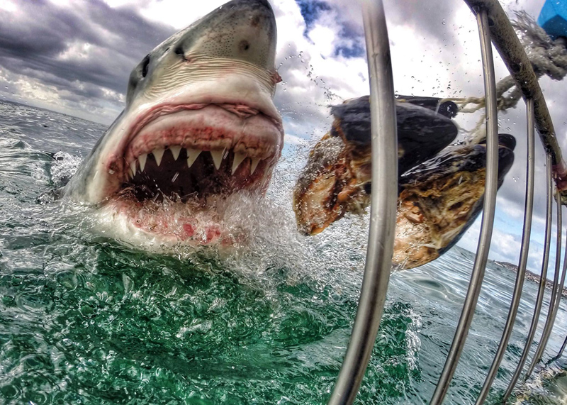 gopro great white shark up close jaws amanda brewer The Top 100 Pictures of the Day for 2014