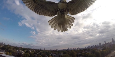 Hawk Takes Down Quadcopter in Mid-Air Attack