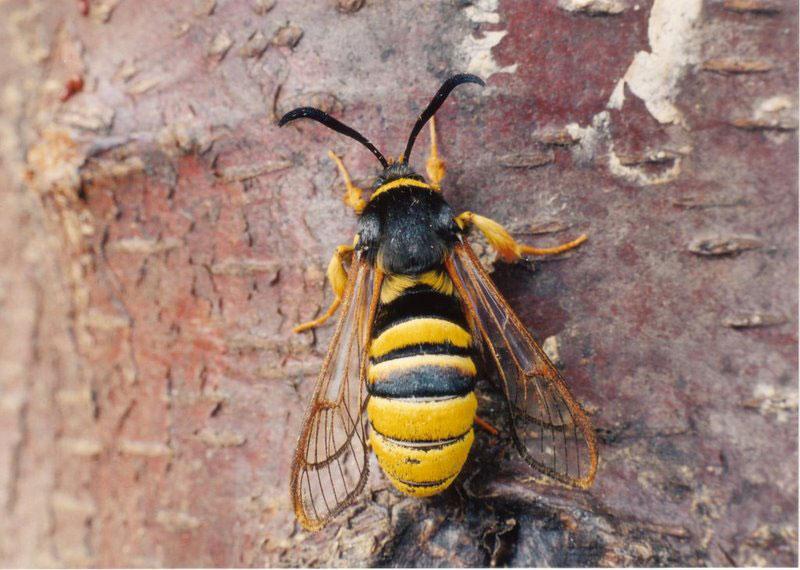 俺「ゲェッ!スズメバチかよ」 自称スズメバチ「実は蛾なんです」