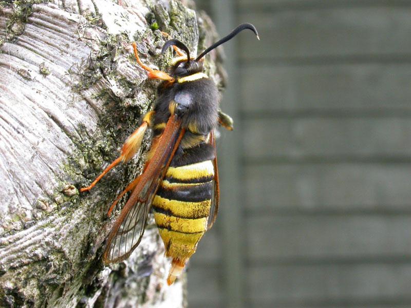 hornet moth (4)