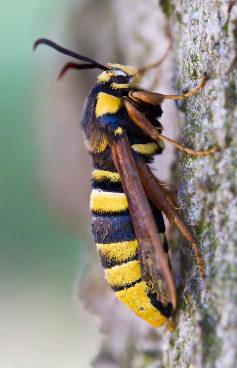 hornet moth (5)