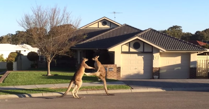 Meanwhile in Australia, a Kangaroo Street Fight