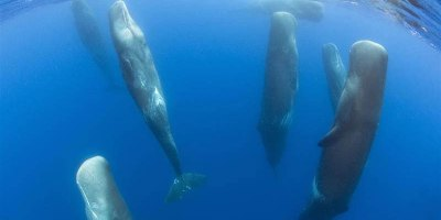 Rare Footage Captures Sperm Whales Sleeping Vertically