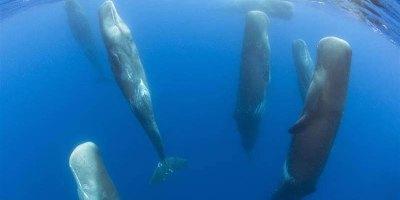 Rare Footage Captures Sperm Whales SleepingVertically
