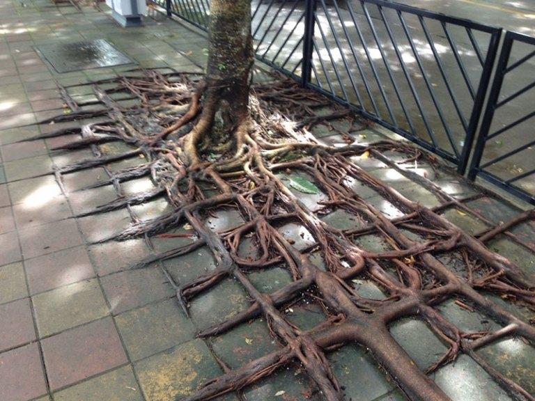 square-roots-from-tree-growing-through-concrete-sidewalk-china