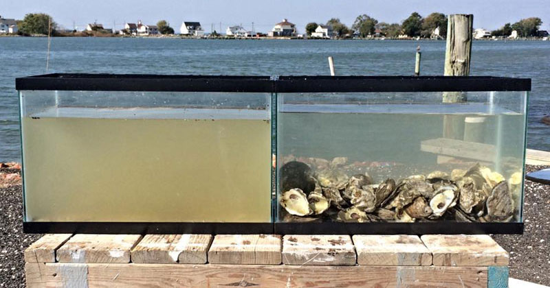 Two Tanks Filled with the Same Water but One has Oysters InIt