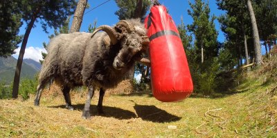 Angry Ram Destroys Punching Bag