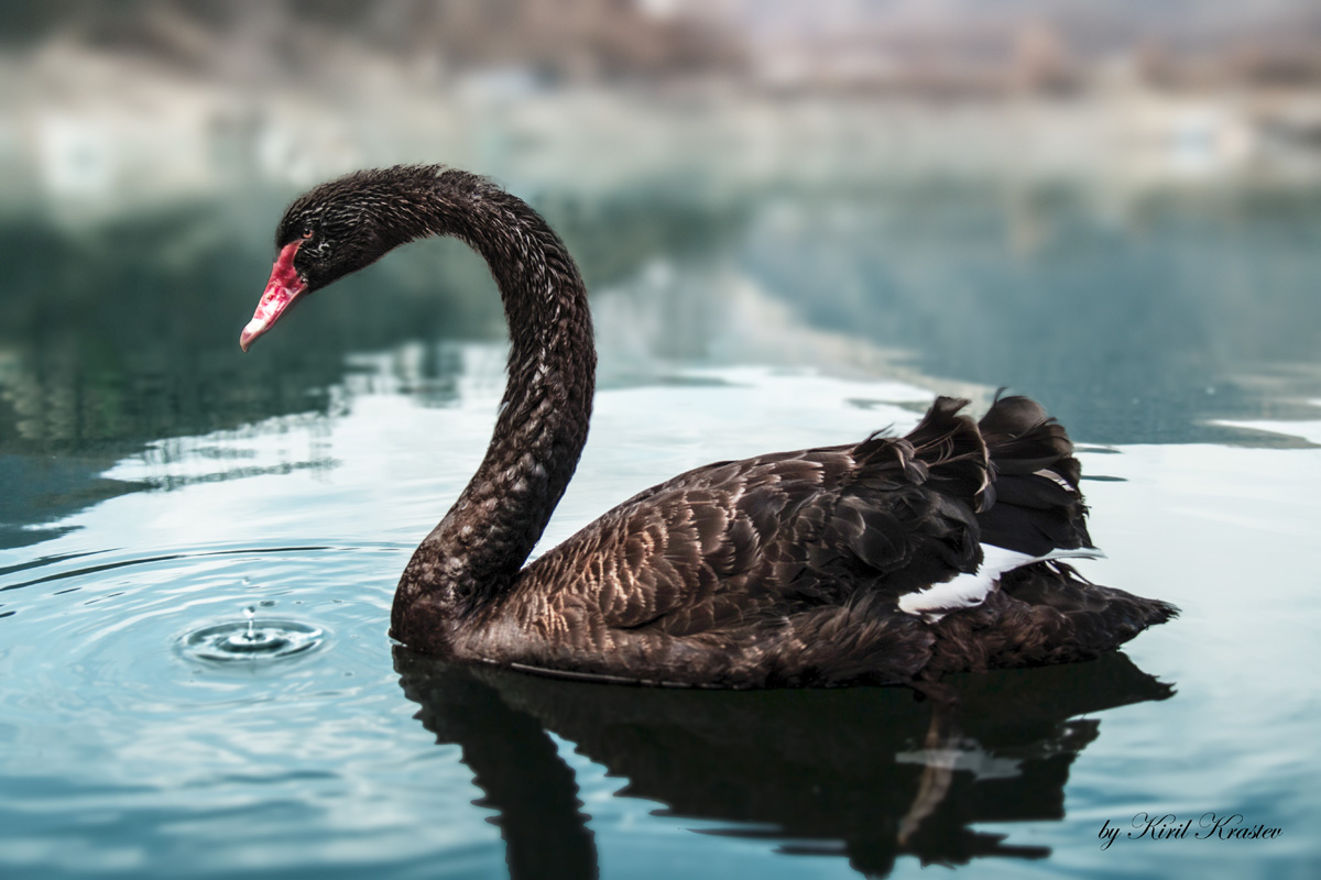 Picture of the Day: The Black Swan «TwistedSifter