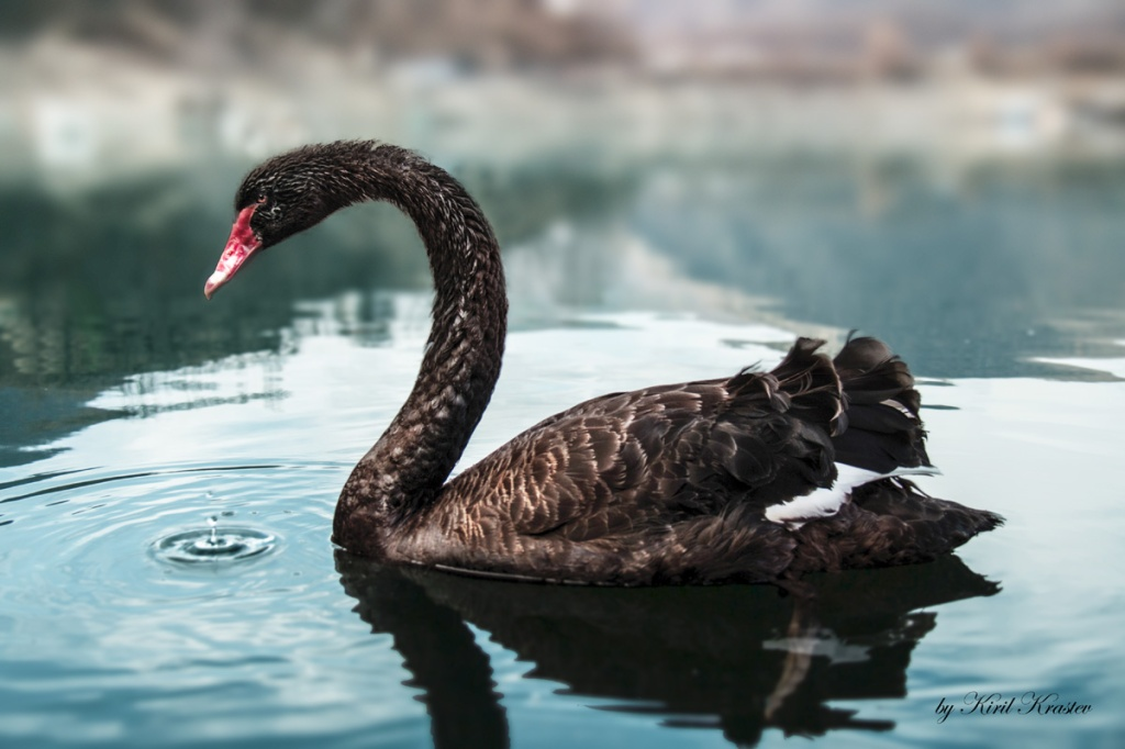 Picture of the Day: The BlackSwan