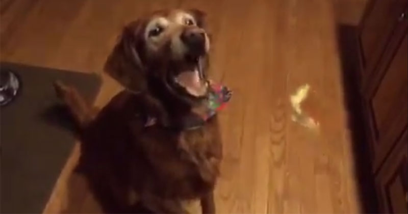 Dog is Adorably Bad at Catching Treats