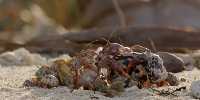 Amazing Footage Shows Hermit Crabs Line Up from Biggest to Smallest to Swap Shells