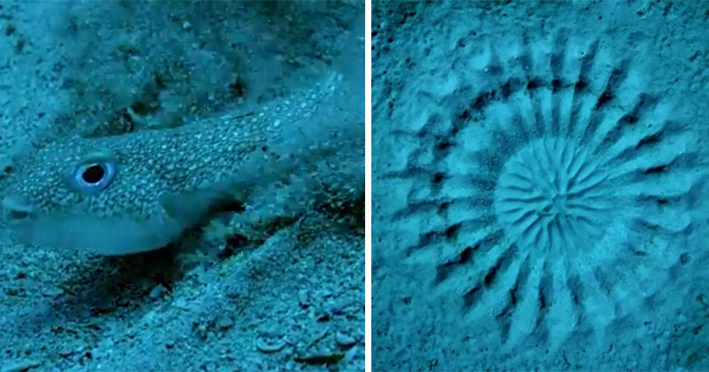tiny pufferfish spends a week creating art on the ocean